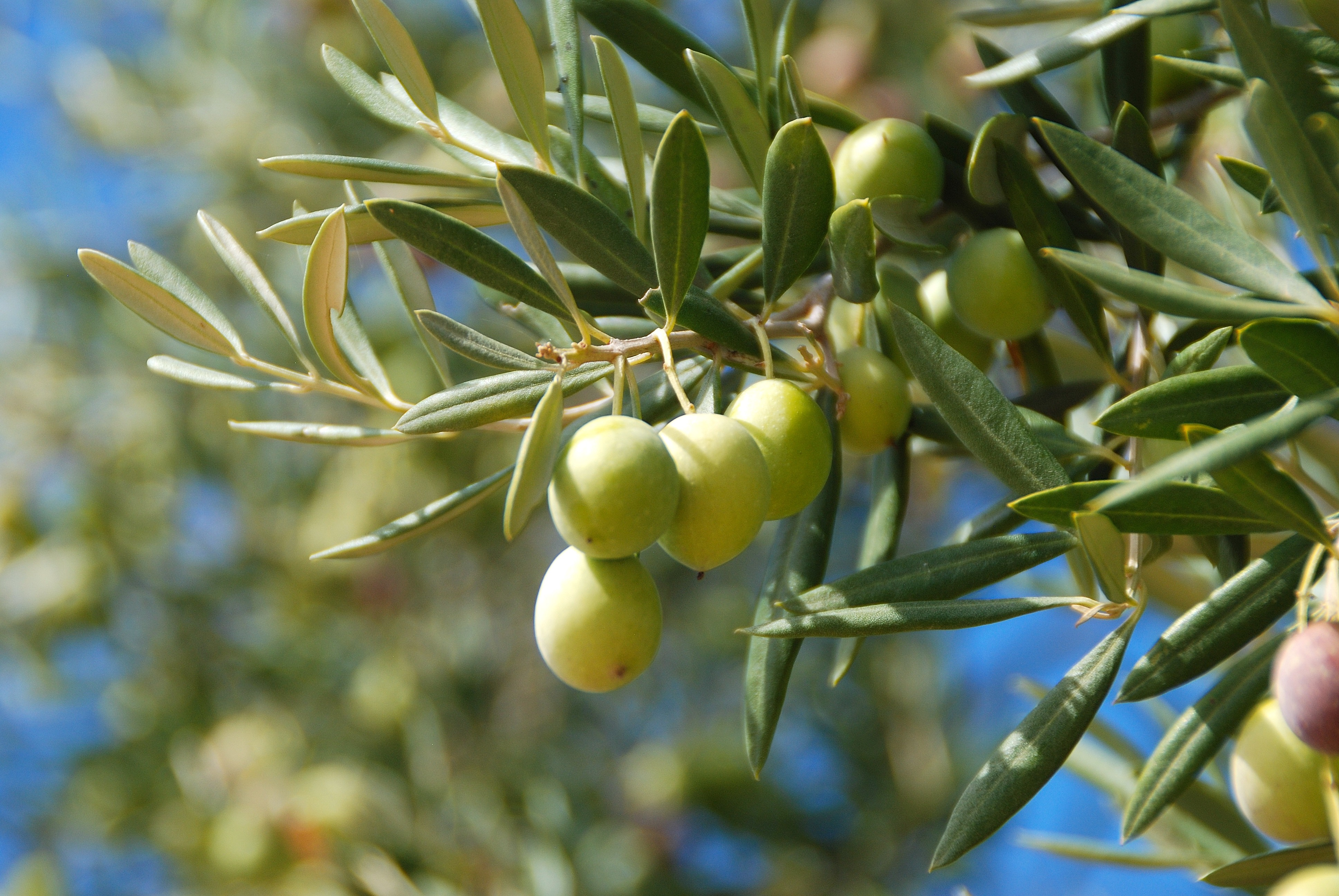 Huile d'olive: Récolte bien méritée