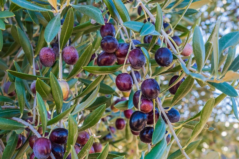 Récolte sur les oliviers 2017 !